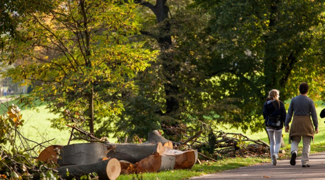 Sturmgeschädigter Baum ohne Juchtenkäfer-Befund