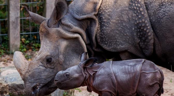 Nashorn-Baby in der Wilhelma