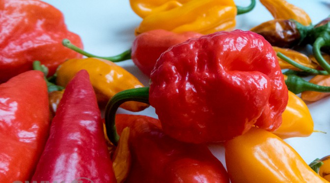 Chilis – Feuer in bunten Farben