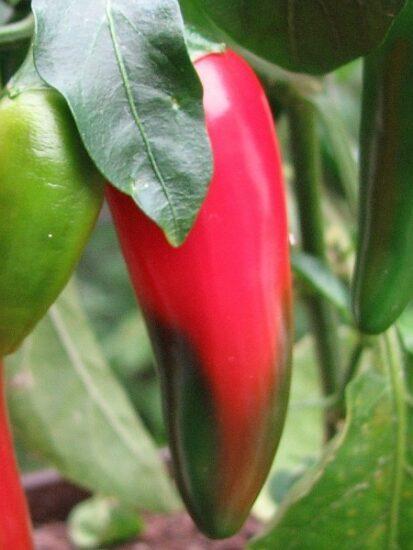 Jalapenofrucht welche schon zur hälfte in helles Rot gewechselt hat. Nur die Spitze der Frucht ist teilweise noch grün