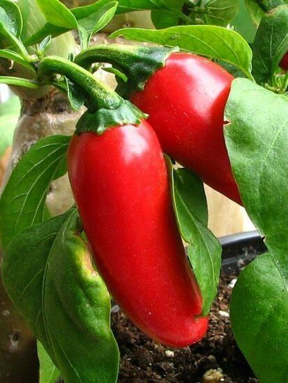 Zwei wunderschöne reife satt rote Jalapeno Früchte.