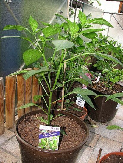 Seitenansicht einer typischen Jalapenopflanze welche sich noch im Wachstum befindet und noch ca. doppelt so hoch wachsen wird.