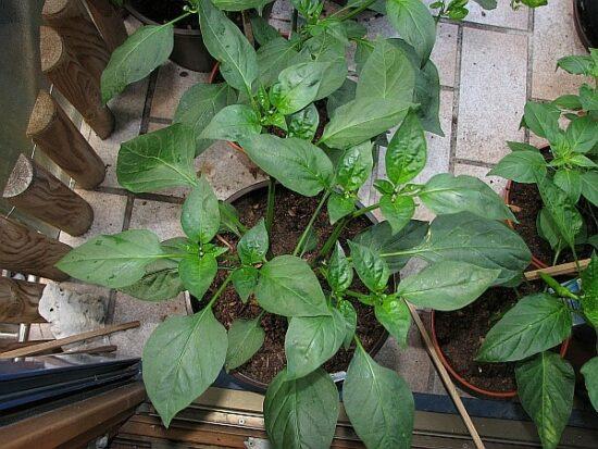 Draufsicht einer typischen Jalapenopflanze welche sich noch im Wachstum befindet und noch ca. doppelt so hoch wachsen wird.